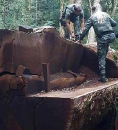 Árvore rara e gigante que foi derrubada para virar cerca em Santa Catarina tinha 535 anos.
