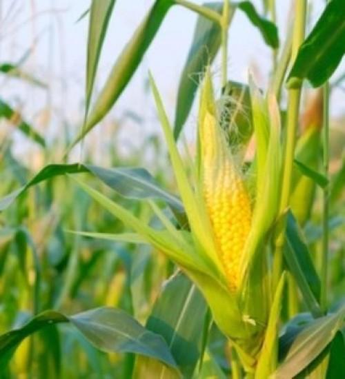 Escassez de milho em 2020 vai atrapalhar crescimento do agronegócio de SC.