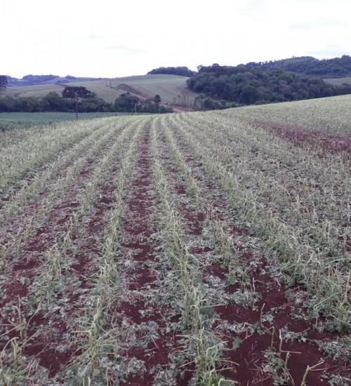 Granizo atinge plantações de soja, fumo e milho no Oeste catarinense.