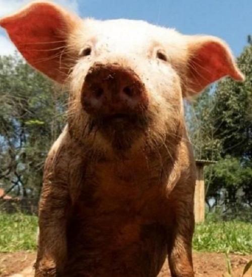 Por que um porco gaúcho teve sua identidade reconhecida em cartório.