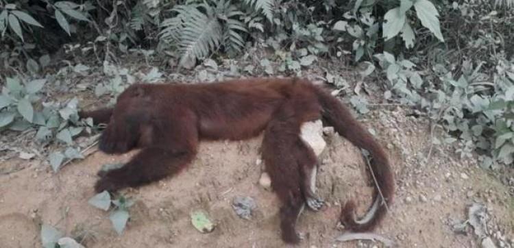 SC registra 64 mortes de macacos com suspeita de febre amarela em 20 dias.