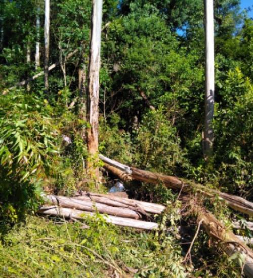 Homem morre atingido por árvore de eucalipto em Palmitos.