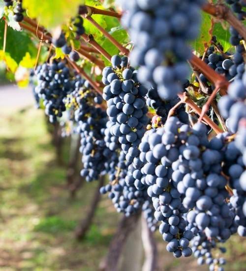 Pesquisadores testam novas espécies para reduzir custos na produção de uvas e vinhos.