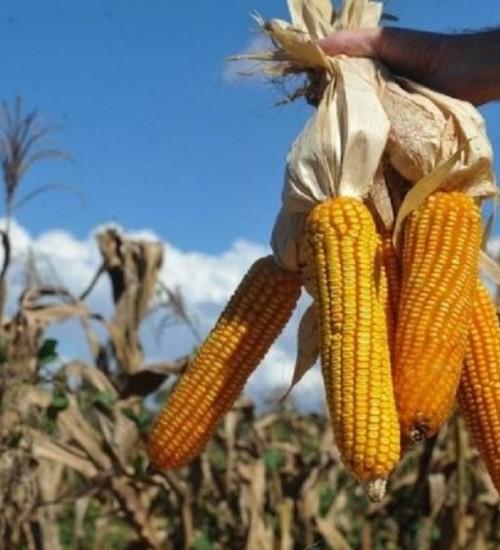 Produtividade agrícola em Santa Catarina cai até 60% com estiagem, diz secretário de Agricultura.
