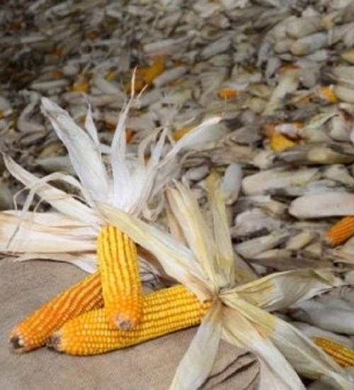 Estado lança novas linhas de crédito para minimizar prejuízos de produtores atingidos pela estiagem.