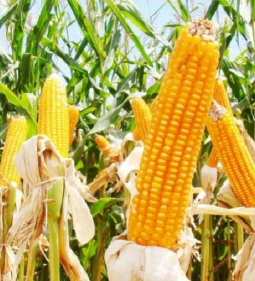 Governo do Estado antecipa programa troca-troca de milho.