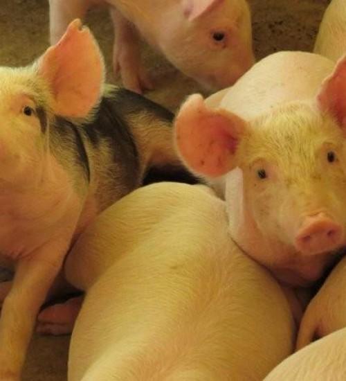 SC completa cinco anos do reconhecimento internacional como zona livre de peste suína clássica.