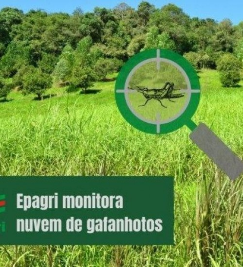 Nuvem de gafanhotos: Pesquisadores da Epagri intensificam estudos sobre a praga.