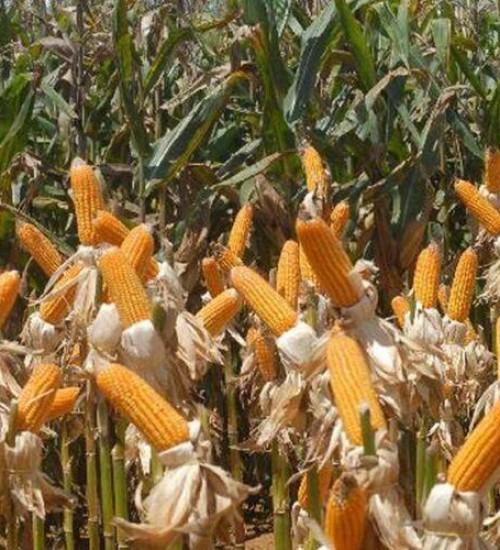 Seca afeta colheita de soja e milho e indenizações devem chegar a R$ 1,9 bi no RS.