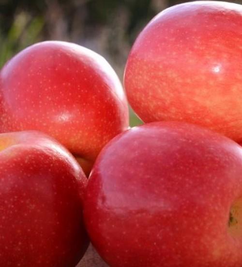 Preço da maçã e exportação de suínos em alta, aponta Boletim da Epagri/Cepa.