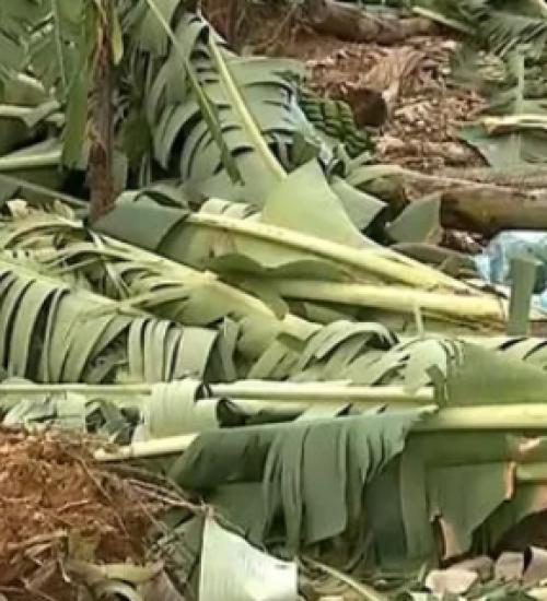 Produtores estimam perdas de até 90% na produção de bananas após ciclone.