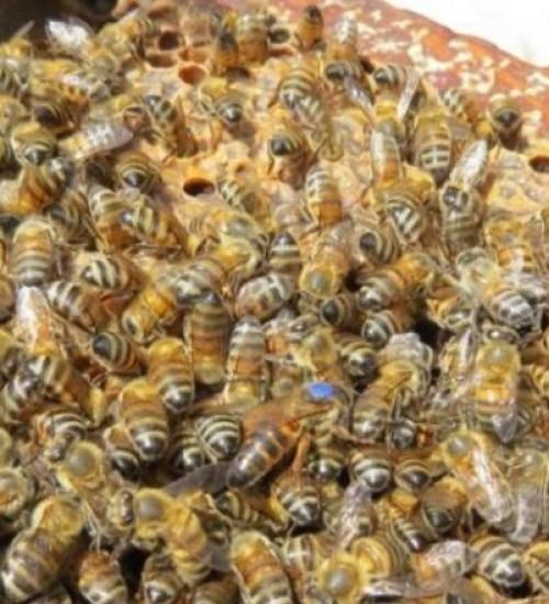 Tecnologia da Epagri para substituir abelhas rainhas pode aumentar produção de mel.