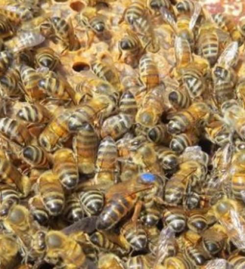 Três pessoas ficam feridas e dois cães morrem após ataque de abelhas