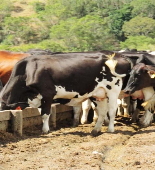 Seca e escassez de insumos afetam a produção de leite em SC