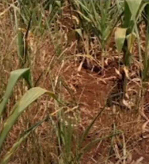 Seca força produtores a abater vacas leiteiras em Santa Catarina.