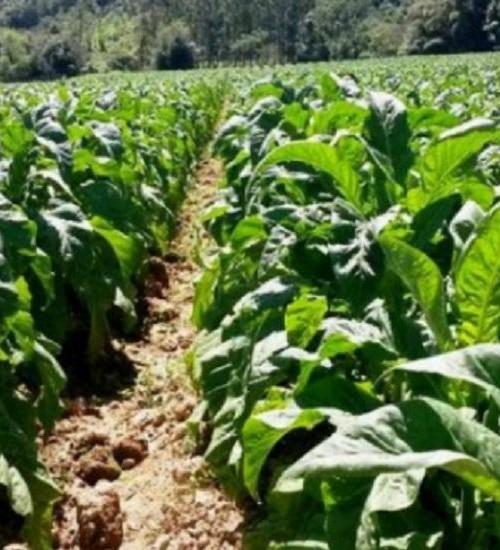 Fazenda adequa uso de Nota Fiscal de Produtor Rural ao setor do fumo.