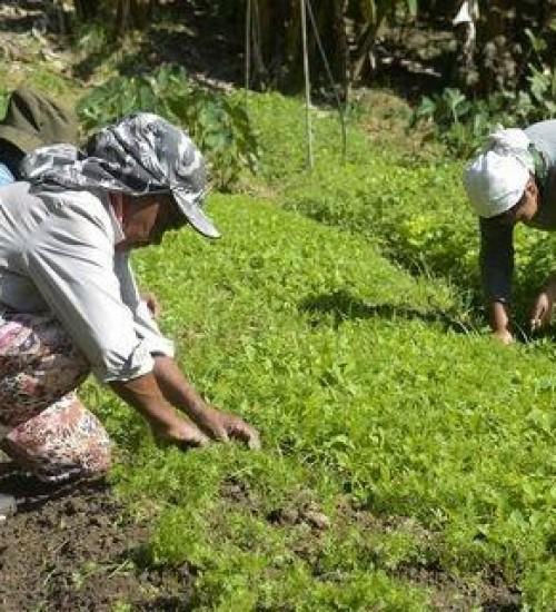 Embrapa lança guias para orientar produtores rurais a identificar pragas em lavouras de hortaliças.