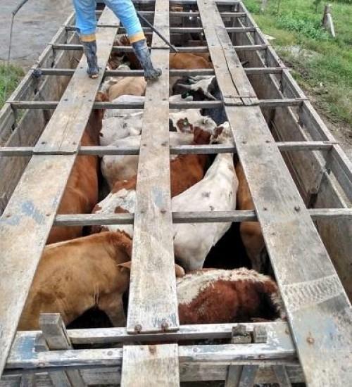 Furto de gado aumenta e preocupa pecuaristas em SC.