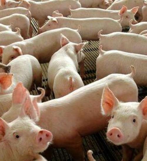 Brasil exporta 351,8 mil toneladas de carne suína no primeiro quadrimestre de 2021.