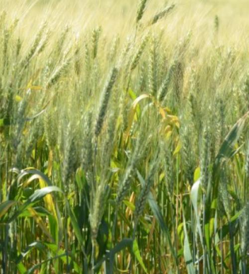 Santa Catarina investirá R$ 5 milhões em novo projeto de incentivo ao plantio de cereais de inverno.