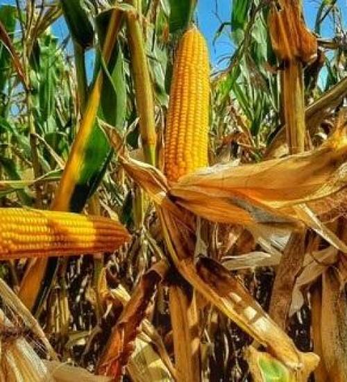 Prêmio Seguro Rural: produtores poderão contar com R$ 693 milhões em créditos.
