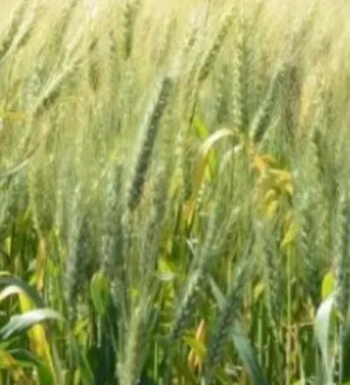 Produção de trigo em SC deve crescer 55%, maior alta entre os cultivos de inverno.
