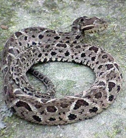 Veneno de cobra brasileira pode evitar reprodução do coronavírus.
