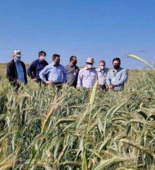 SC avança nas pesquisas para produção de cereais de inverno no Oeste.